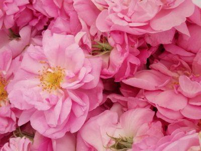 バラの花びらを使った実験結果