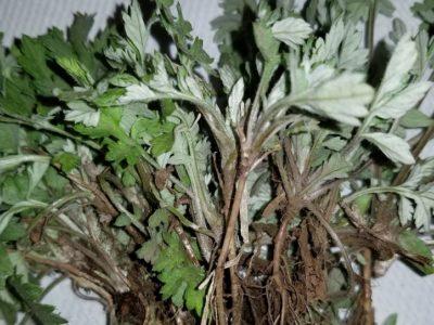 植物のある暮らし、ハーブと暮らす ヨモギ編